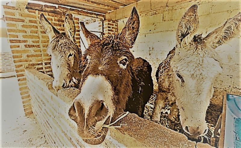los burros son